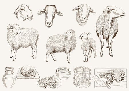 mutton: sheep breeding Illustration