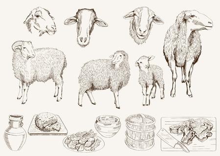 sheep breeding Illustration