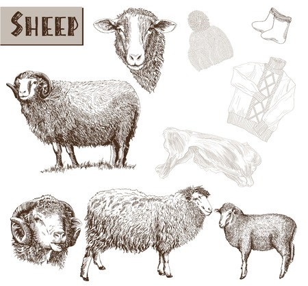 wool sheep: sheep breeding. set of vector sketches on a white background