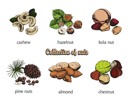 pine nut: six kinds of nuts. vector sketches. handmade