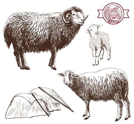 sheep wool: sheep breeding. set of vector sketches on a white background