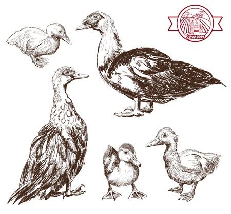 duckling: breeding ducks. set of vector sketches. Hand drawn illustrations Illustration