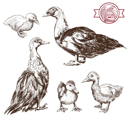 black beak: breeding ducks. set of vector sketches. Hand drawn illustrations Illustration
