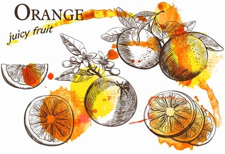 citricos: Ilustraciones drenadas mano de hermosas frutas de color naranja