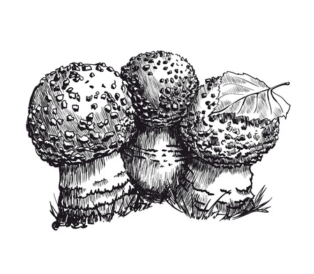 poisonous organism: amanita vector sketch on a white background