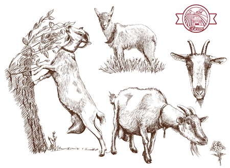 goat: breeding goats. Hand drawn sketches on a gray background