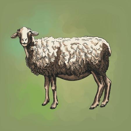 breeding: sheep breeding. vector sketch on a green background Illustration