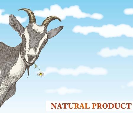 cabra: cabra se asoma desde detr�s de una esquina frente a un hermoso cielo azul con nubes blancas