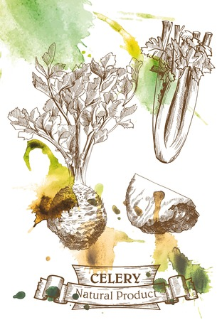 celery: Vector drawing of root and leaves celery which located on the watercolor background