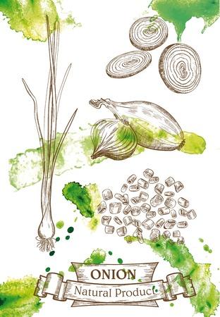 onion: Dibujo vectorial de cebolletas, y aros de cebolla picada, que se encuentra en fondo de la acuarela