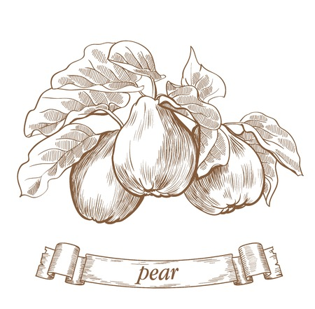 pears: detailed vector sketch of pears on a white background Illustration