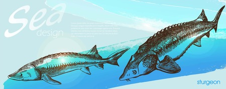 sturgeon: Two detailed images of sturgeon on blue horizontal background