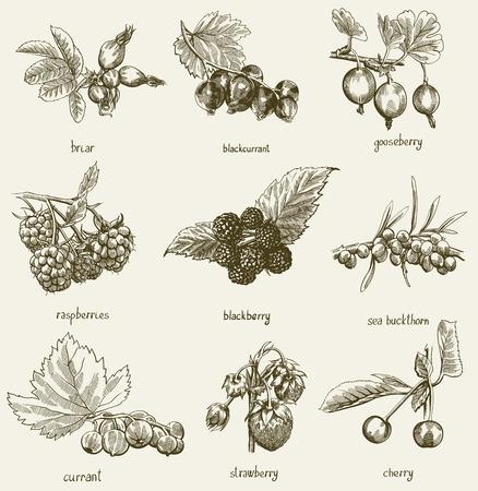 currants: Set of  beautiful berries on branch vector sketches Illustration