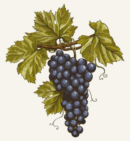 color illustration: vector illustration of engraving grapes on the branch on grey background Illustration