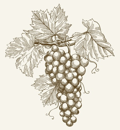 grapes on vine: vector illustration of engraving grapes on the branch on grey background Illustration