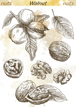 walnut set of vector sketches on an abstract background