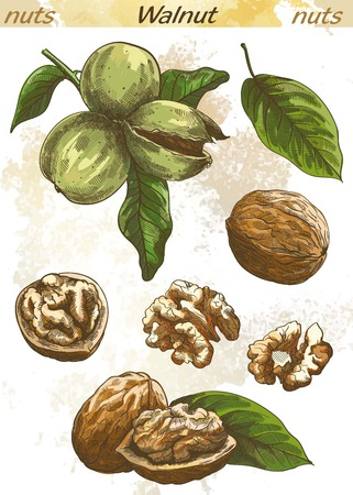 walnut: walnut set of vector color sketches on an abstract background