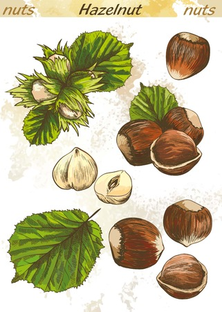 hazelnut: hazelnut set of vector color sketches on an abstract background Illustration