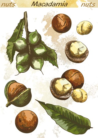 macadamia: macadamia nut set of color vector sketches on an abstract background