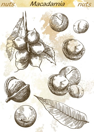 macadamia: macadamia nut set of vector sketches on an abstract background Illustration