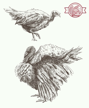 strut: Two turkey is important walk set of vector sketches on a white background