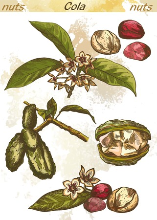nut: kola nut set of vector sketches on an abstract background Illustration