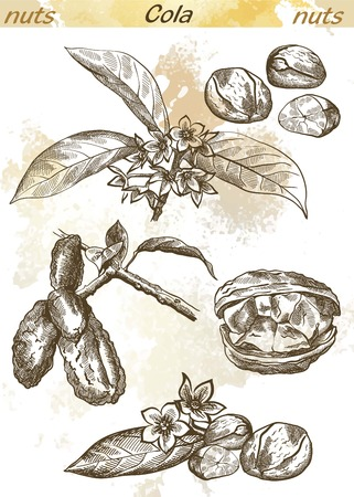 kola nut set of vector sketches on an abstract background Illustration