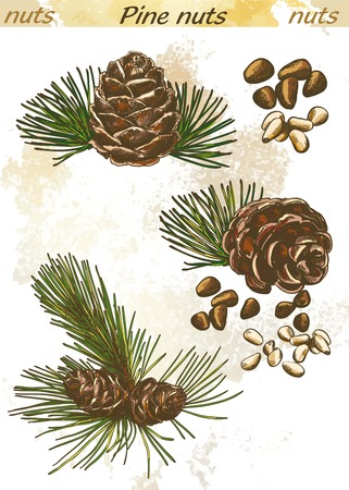 pine nuts: pine nuts set of  color sketches on an abstract background Illustration