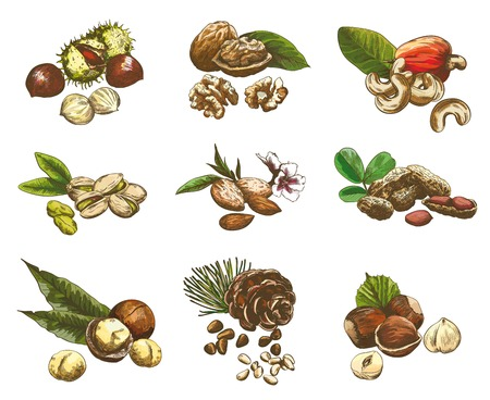 pine nut: Some kinds of nuts. set of nine color vector sketches Illustration