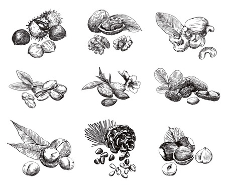 pine nut: Some kinds of nuts. set of nine vector sketches