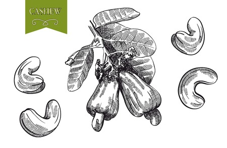 cashew set of vector sketches on white background