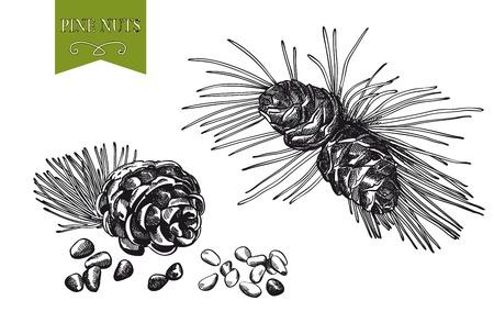 pinoli: pinoli set di schizzi su sfondo bianco Vettoriali