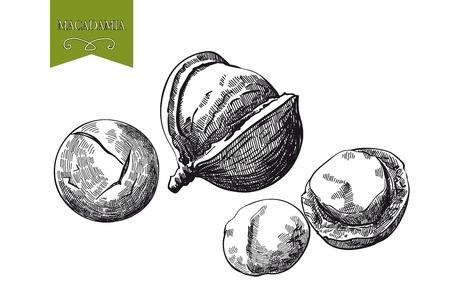 macadamia: macadamia nut set of sketches made by hand