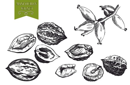 ready to eat: Manchurian walnut set of sketches made by hand