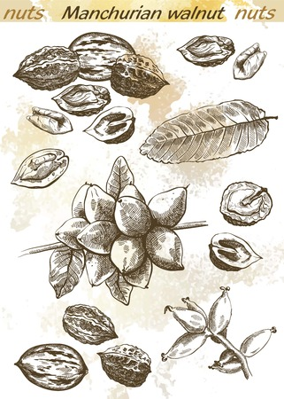 seeds: Manchurian walnut set of sketches on an abstract background Illustration