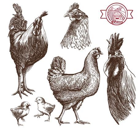 pollo: bocetos gallos, gallinas y pollos en un fondo blanco