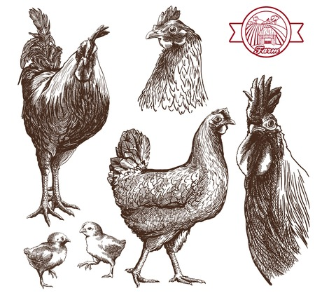 sketches cocks, hens and chickens on a white background Stock Photo