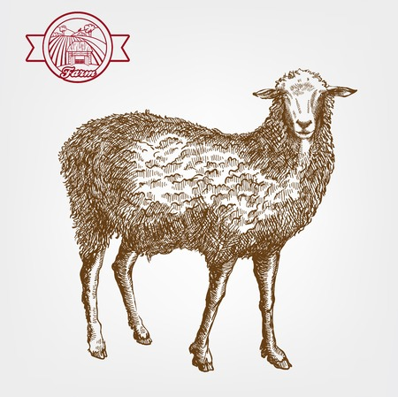 mutton: sheep breeding. vector sketch on a grey background