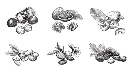 walnut: Various kinds of nuts set of sketches made by hand
