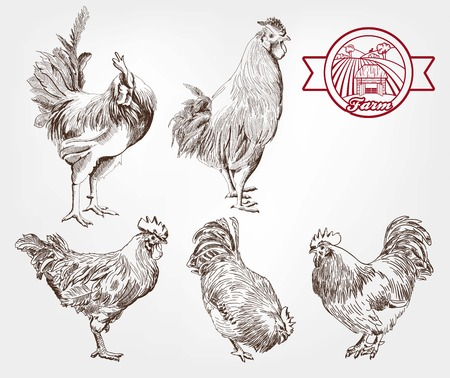 aviculture: five young roosters. set of sketches made by hand