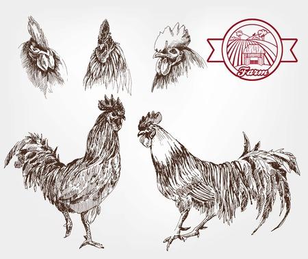 gallo: cinco gallos jóvenes. conjunto de bocetos hechos a mano