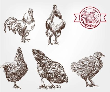 aves de corral: Dos gallo y tres gallinas. conjunto de bocetos hechos a mano
