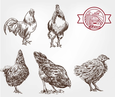 aviculture: Two rooster and three hens. set of sketches made by hand
