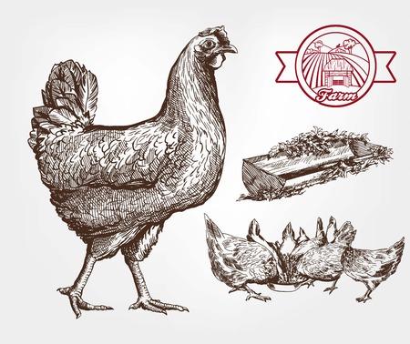 pollo: la alimentación de los pollos. conjunto de bocetos hechos a mano Vectores