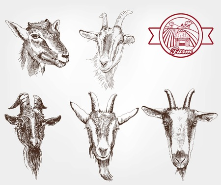 ruminant: goat breeding. set of sketches made by hand