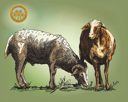 two animals: sheep breeding. sketch made by hand on a colored background
