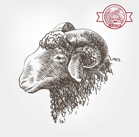 mutton: rams head. sketch made by hand on a grey background