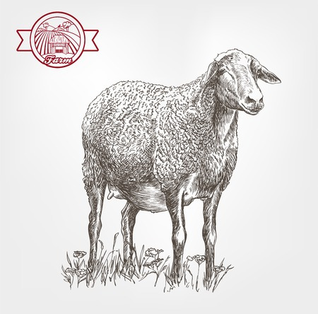 yeanling: sheep breeding. sketch made by hand on a white background