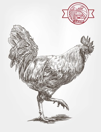 aviculture: proud rooster. sketches made by hand on a gray background Illustration