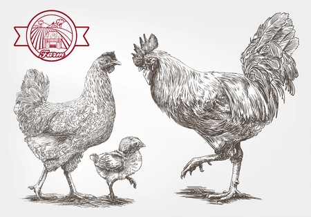 aviculture: brood-hen. sketches made by hand on a gray background